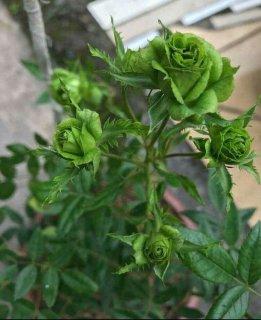 گل رز سبز