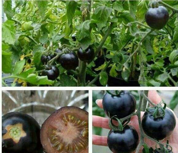 گوجه فرنگی سیاه